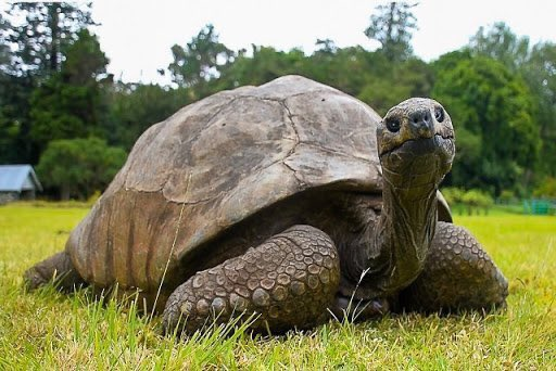 Meet Jonathan The Tortoise, The Oldest Known Living Animal on Earth